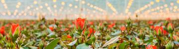 Read LEDiL Horticultural lighting article